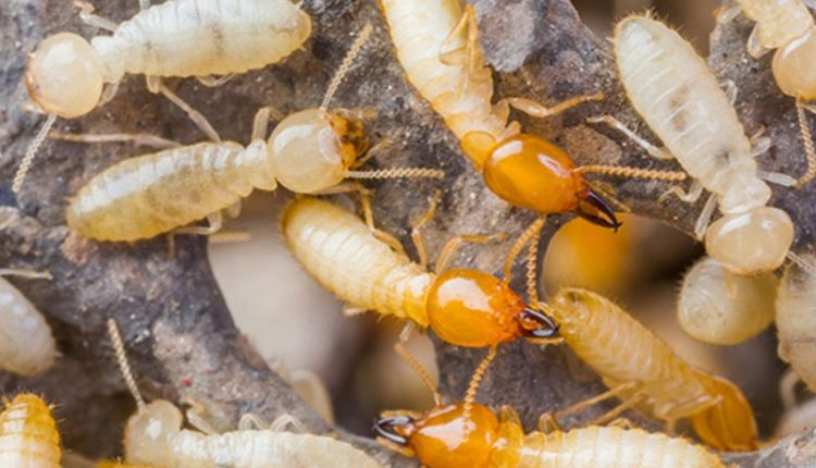 Termites-page